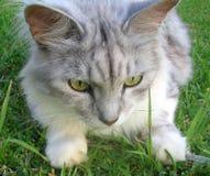Katze silberner Mackrel Tabby-Sibirier Lizenzfreie Stockfotos