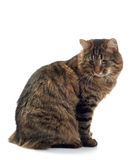 Katze sitzt auf einem weißen Hintergrund Lizenzfreie Stockfotografie