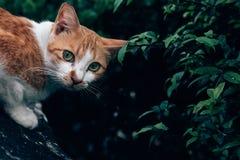 Katze sitzt und die Kamera betrachtend um einen grünen Busch Lizenzfreie Stockbilder