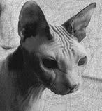Katze, Sphinx, Hintergrund, unbehaart lizenzfreie stockbilder