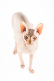 Katze Sphynx Stockbilder