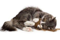 Katze spielt Lizenzfreie Stockbilder