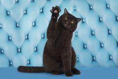 Katze steht auf der blauen Couch still Lizenzfreie Stockbilder