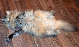 Katze, Tier, Kätzchen, Haustier, katzenartig, nett, inländisch, Pelz, Miezekatze, Säugetier, getigerte Katze, Augen, Haustiere, W lizenzfreie stockbilder