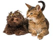 Katze und bolonka zwetna im Studio Lizenzfreie Stockfotografie