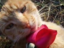 Katze und eine Rose. Stockfotografie