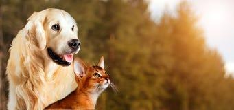 Katze und Hund, abyssinische Katze, golden retriever zusammen auf ruhigem Herbstnaturhintergrund Stockfotos