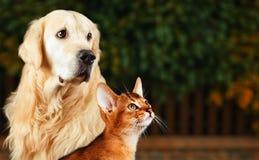 Katze und Hund, abyssinische Katze, golden retriever zusammen auf ruhigem Naturhintergrund Lizenzfreie Stockfotografie