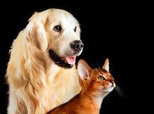 Katze und Hund, die abyssinische Katze, golden retriever betrachtet zusammen Recht lokalisiert auf Schwarzem Lizenzfreie Stockfotografie