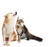Katze und Hund Maine-Waschbär, shiba inu, das oben mit schaut Stockfotografie