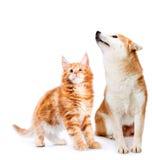 Katze und Hund Maine-Waschbär und shiba inu, das oben schaut Lizenzfreies Stockbild