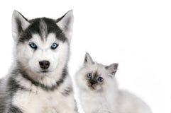 Katze und Hund zusammen auf Weiß, neva Maskerade, sibirischer Husky schaut gerade Lizenzfreies Stockbild