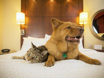 Katze und Hund zusammen im Hotelschlafzimmer Lizenzfreies Stockfoto