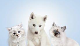 Katze und Hund zusammen, neva Maskeradekätzchen, golden retriever Lizenzfreie Stockfotografie