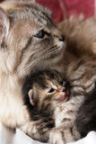 Katze und ihr Kätzchen Stockbilder
