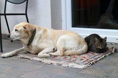 Katze und labrador retriever Lizenzfreies Stockbild
