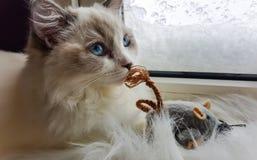 Katze und Maus Ragdoll Lizenzfreies Stockfoto
