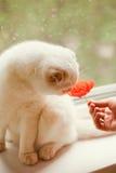Katze und Mohnblume Stockfotos