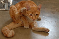 Katze verbogen, um Körper zu säubern Lizenzfreie Stockbilder