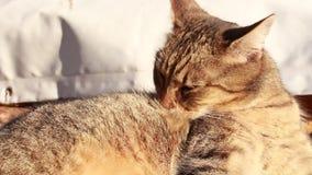 Katze washs stock video footage