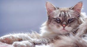 Katze, welche die Kamera, mit blauen Augen, über purpurrotem und blauem Hintergrund betrachtet Stockfotos