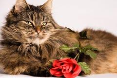 Katze wiiyh Valentinsgruß stieg Stockfoto