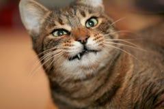 Katze-Zähne Stockfoto
