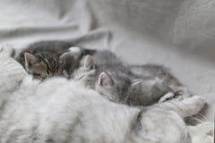 Katze zieht Kätzchen mit Milch ein stockbild