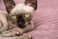 Katze, Zucht, Kanadier auf Bett liegendes und schauendes Sphynx, Katze mit g lizenzfreies stockfoto