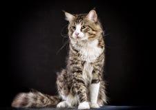 Katze Zucht - Maine Coon stockfotografie