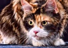 Katze Zucht - Maine Coon Stockbild