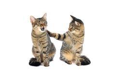 Katze zwei Lizenzfreie Stockfotos