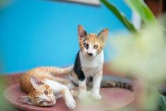 Katze zwei auf einem blauen Hintergrund stockfotografie