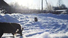 Katze zwei im Schnee stock video