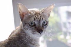 Katzeaugen-Tierhaustier des Katzendrehungsblickes zurück an der Fensterohrkatze Stockfotografie