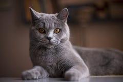 Katzebrut britisches Shorthair Blau Lizenzfreies Stockfoto