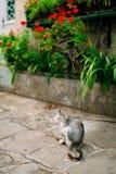 Katzen in der alten Stadt von Budva, Kotor, Dubrovnik Kroatien und Montag Lizenzfreie Stockbilder