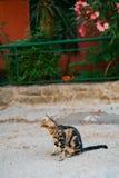 Katzen in der alten Stadt von Budva, Kotor, Dubrovnik Kroatien und Montag Stockbilder