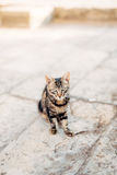 Katzen in der alten Stadt von Budva, Kotor, Dubrovnik Kroatien und Montag Lizenzfreies Stockfoto