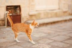 Katzen in der alten Stadt von Budva, Kotor, Dubrovnik Kroatien und Montag Lizenzfreies Stockbild