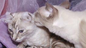 Katzen an der Ausstellung stock footage