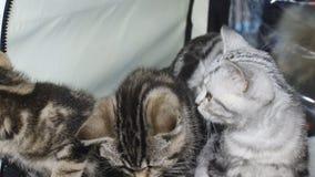 Katzen an der Ausstellung stock video