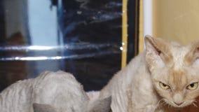 Katzen an der Ausstellung stock video footage