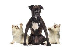 Katzen, die an einem Boxer pawing sind Stockfotografie