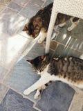 Katzen, die in Santorini, Griechenland faulenzen Stockfotografie