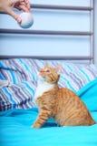 Katzen-Haustiermiezekatze der Tiere zu Hause - rote nette kleine auf Bett Lizenzfreies Stockfoto