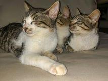 Katzen-K?tzchengeschwister der getigerten Katze, die versuchen zu schlafen lizenzfreies stockbild
