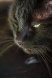 Katzen-/Katzenporträt Lizenzfreies Stockfoto