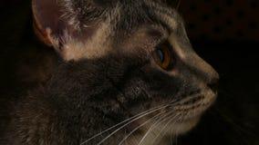 Katzen stellen nahes herauf Ansicht gegenüber stock footage