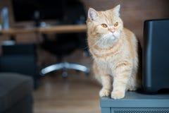 Katzen-Stellung und Neugier Stockfotografie